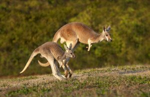 reasons to love Australia Kangaroo