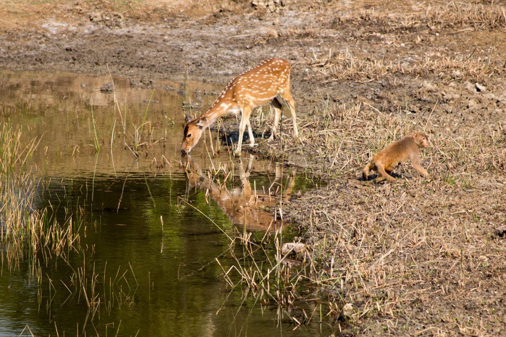 A deer and a monkey take it in turns to drink