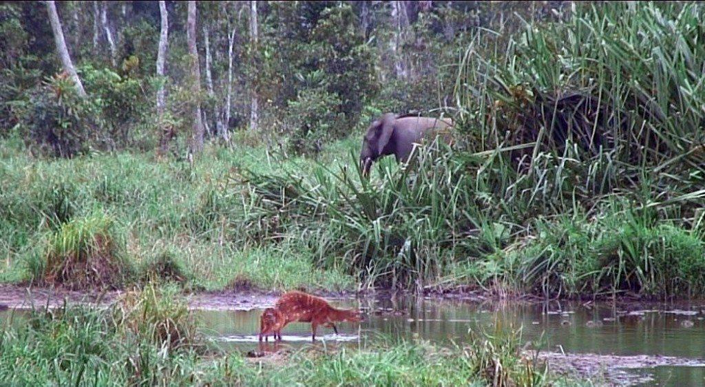 elephant and sitatungas