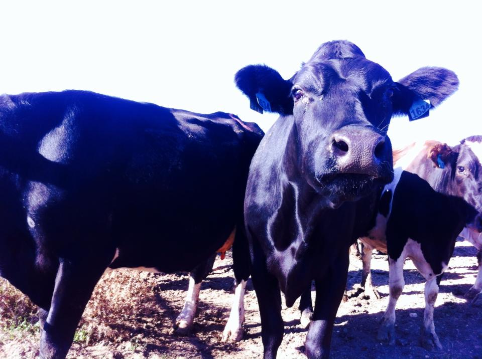 getting a 2nd year working holiday visa by working on a dairy farm in Australia