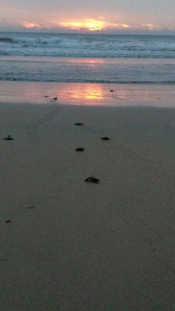 Releasing turtles at sunset