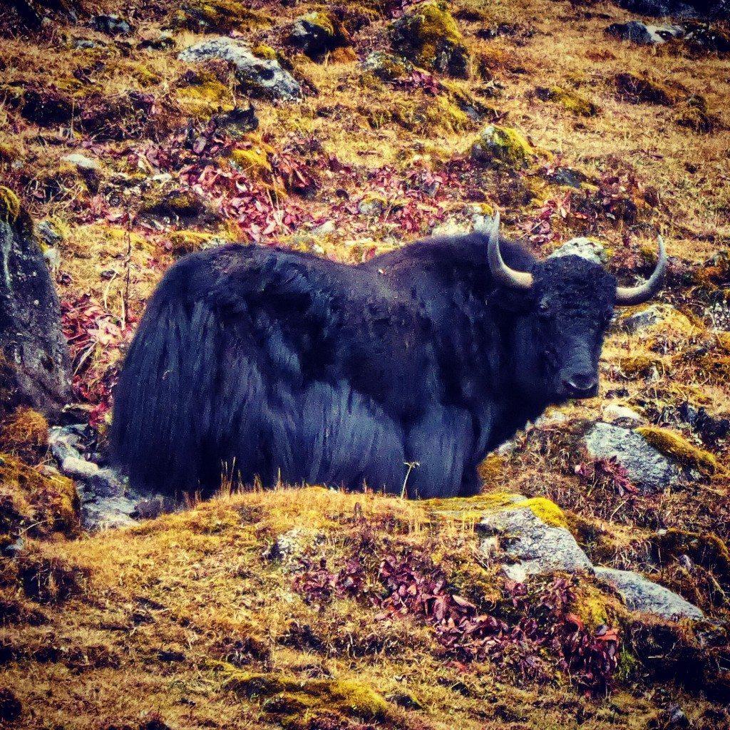 yak in tawang Arunachal Pradesh
