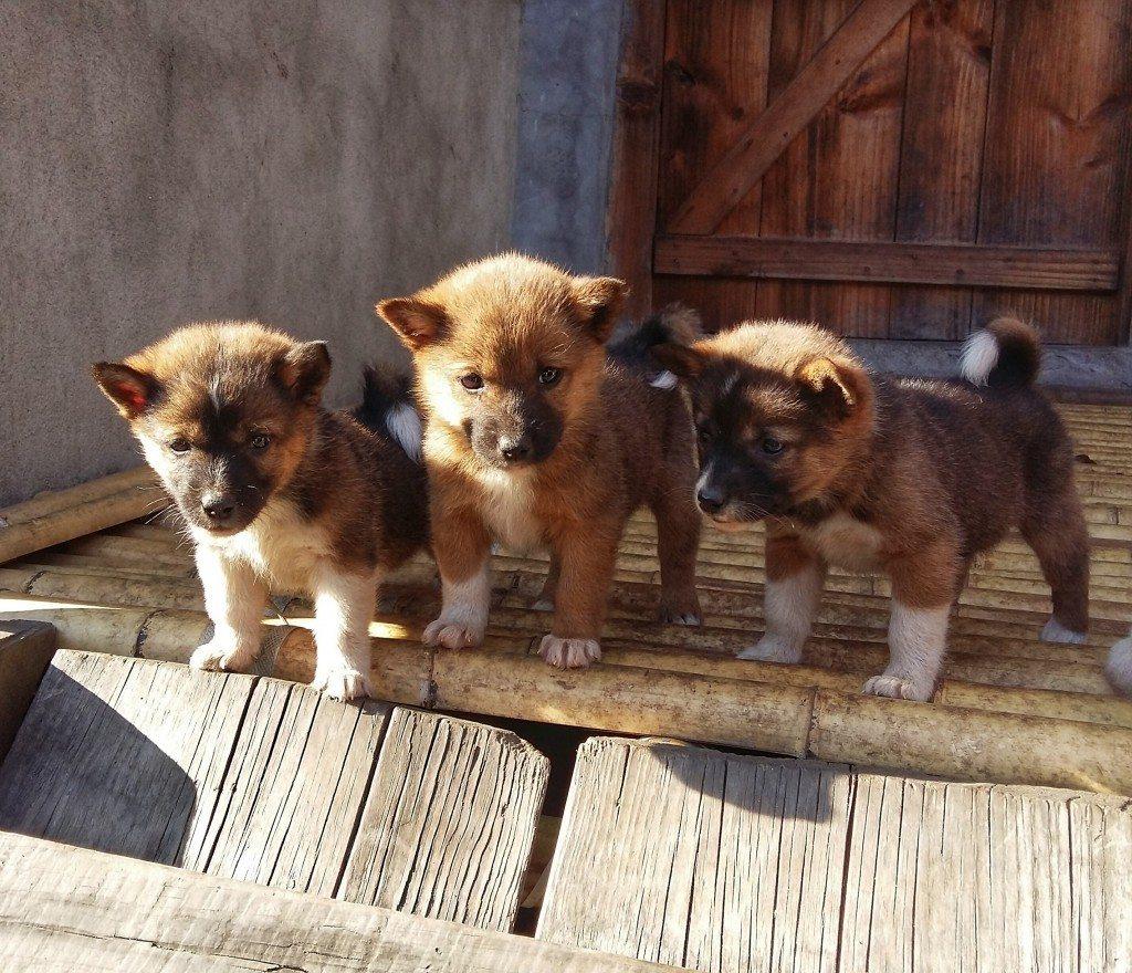cute puppies in Ziro Valley
